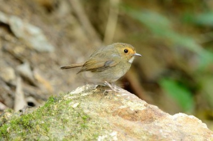 Rufous-browed Flycatcher	(Ficedula solitaris)