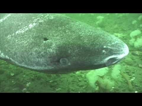 Es un tiburón tan lento, que caza las focas mientras están dormidas. No es un chiste, es el tiburón de Groenlandia