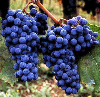 Sangiovese grapes. Beautiful.