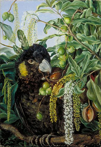 Foliage, Flowers, and Fruit of a Queensland Tree and Black Cockatoo