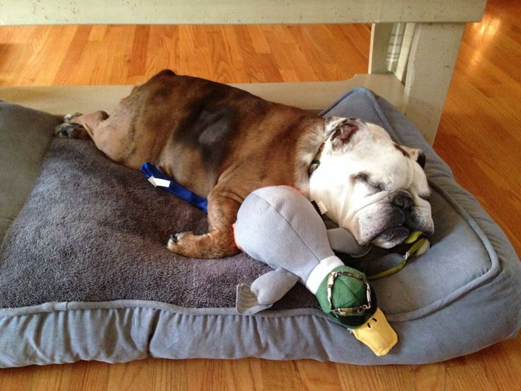 ❤ The after Christmas pleasures ... Naps on the new bed, surrounded by the new toys! ❤  Posted on BULLDOGS (FB)
