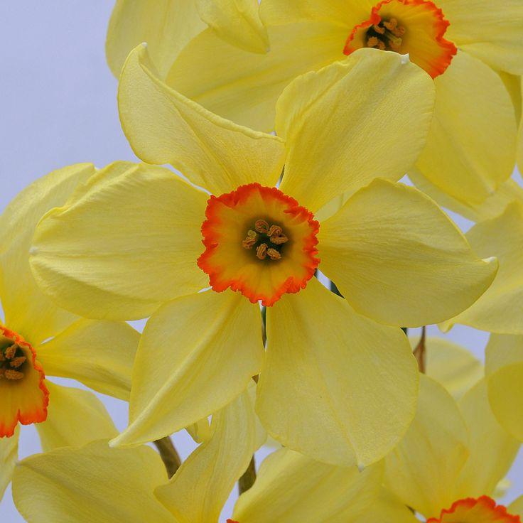 """""""Mein Favorit unter den historischen Narzissen. Eine schöne, zierliche und romantisch geformte Blüte auf langen Stielen, die durch den Wind tanzt. Sie wurde Anfang des 19. Jahrhunderts eingeführt. Mit nur wenigen Zwiebeln habe ich wieder eine hochwertige Sorte herangezogen. Ich bin sehr stolz darauf, Ihnen diese Narzisse anbieten zu können."""" – Carlos van der Veek. Online erhältlich bei www.fluwel.de"""