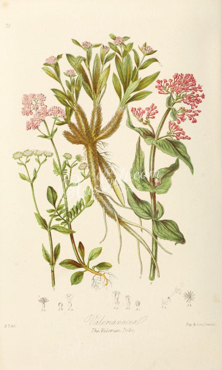 75-Valeriana dioica. Fedia olitoria. Centranthus ruber. Nardostachys Jatamansi.      ...