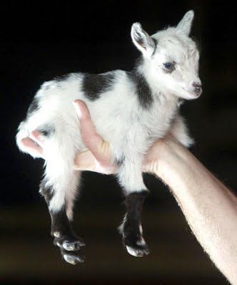 geez i love goats...