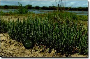 Salicornia quinqueflora 'Sea Asparagus' Found in a range of soil types from sands through sandy loams, clay loams to clay but prefers the heavier textures.  Normally grows to 30 cm tall, sometimes to 50 cm but often much shorter and forming mats to only a few cm height.