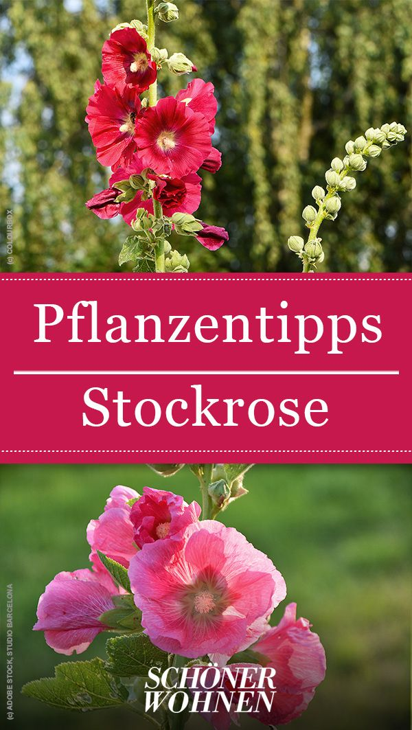In unserer Pflanzenenzyklopädie lesen Sie, wie Sie die Stockrose säen und pflanzen. …   – Blumenbeet