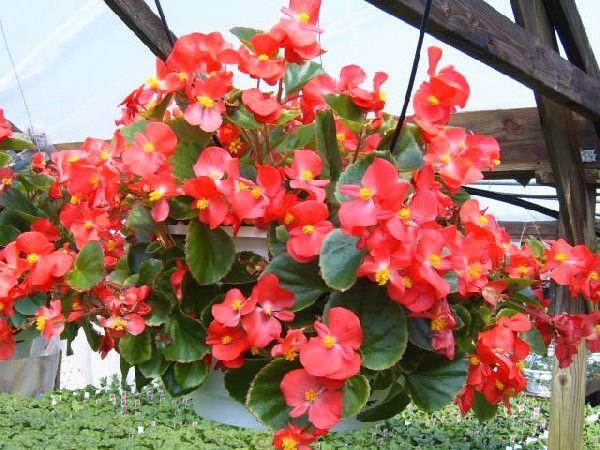 Wax begonia hanging basket shade yard pinterest - Plantas resistentes al frio ...