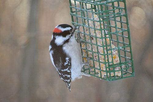 Downey Woodpecker in Edmonton Alberta