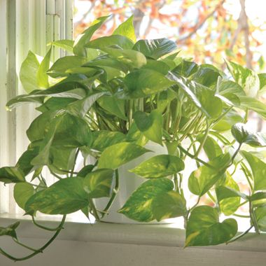 7 best air cleaning plants finding plants that clean the for Indoor gardening methods