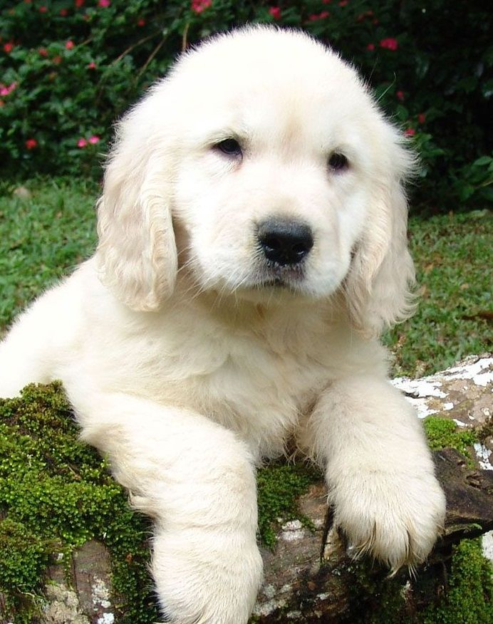 beautiful golden retriever puppy   ...........click here to find out more  http://googydog.com