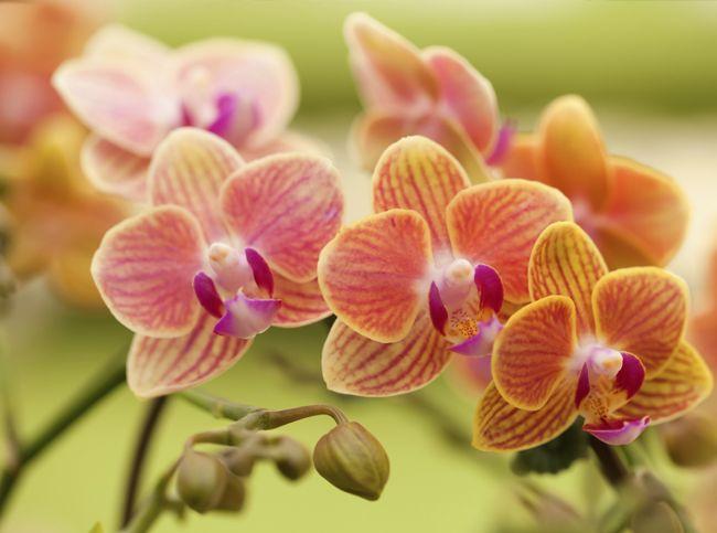 Как заставить орхидею цвести - Портал «Домашний»