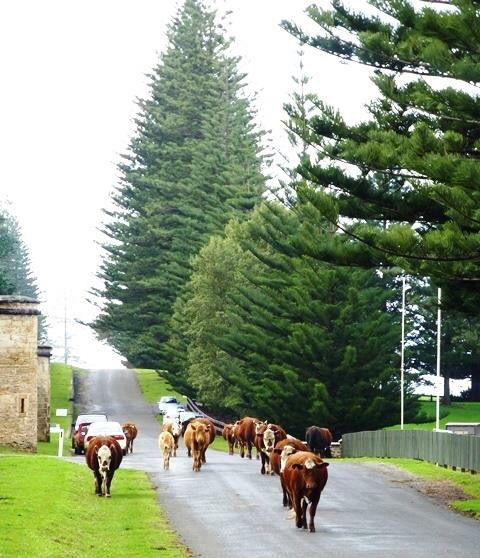 Kingston, Norfolk Island. The cows have the right of way on the roads.