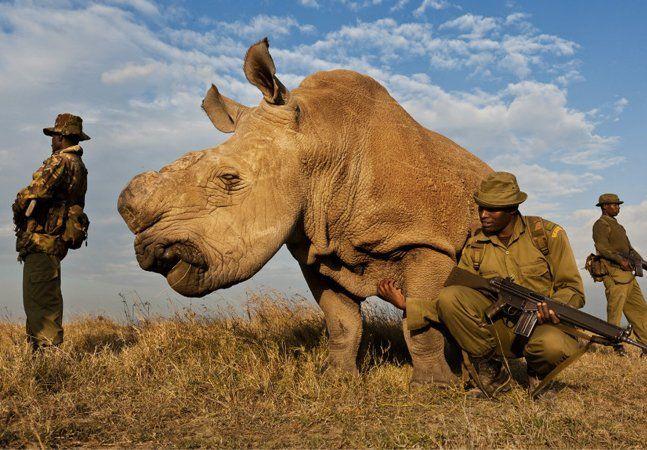 Um quilo de chifre de rinoceronte sai por US$ 65 mil no mercado negro asiático. Poderíamos dizer que as peças custam mais do que ouro ou platina, mas na verdade, elas custam uma espécie. Isso porque há cerca de 25 mil rinocerontes no mundo e apenas seis deles sãorinocerantes-brancos-do-norte– três estão no Quênia, dois no zoológico de San Diego e um na República Tcheca. Suni, o sétimo dosrinocerantes-brancos-do-norte e um dos dois únicos machos com capacidade reprodutora, foi encontrado…