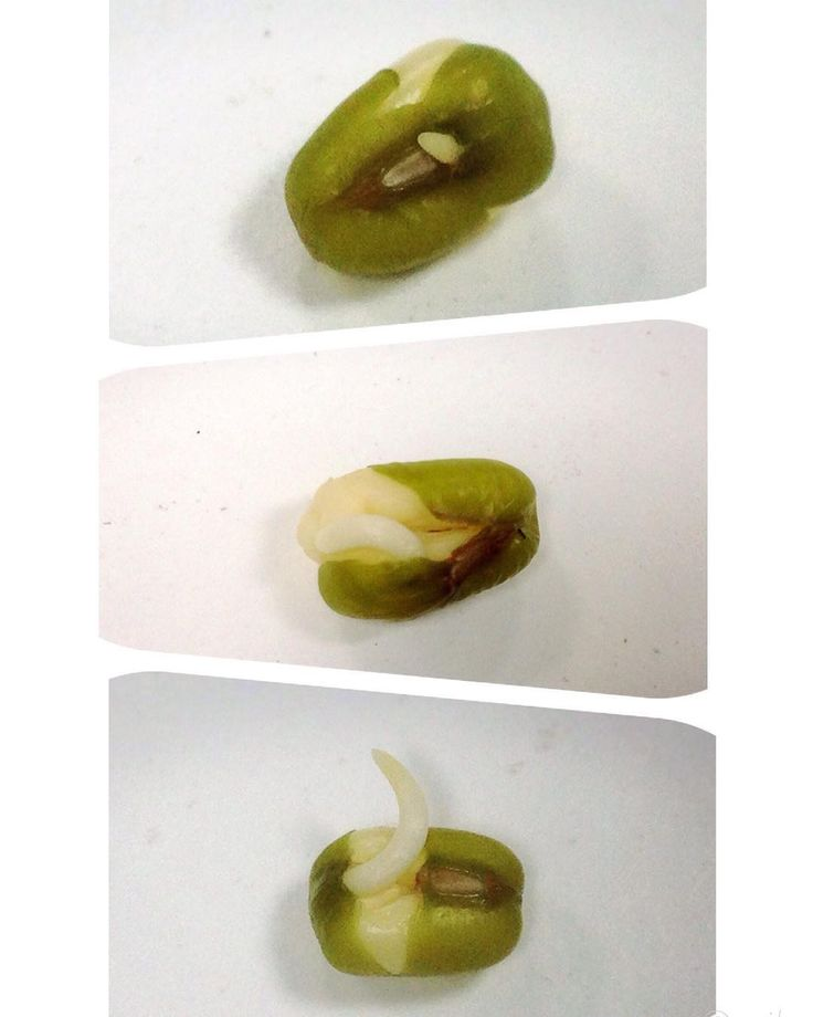 """Mung bean (Vigna radiata) Fabiaceae family, native to the Indian subcontinent. Cultivated in India, China and Southeast Asia but also in Southern Europe and Southern USA, & of course in Australia too! ;)   Feel the energy of the sprouting bean! It is literally so """"full of beans!"""" ;)"""