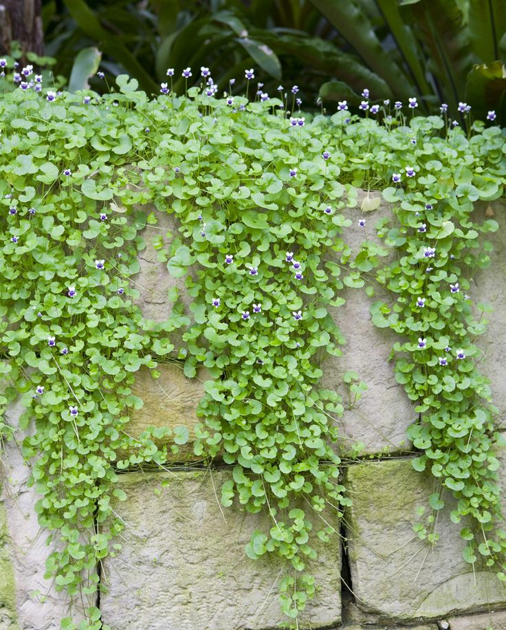 Native Violet, Viola hederaceae - I use it everywhere, with its bright green leaves and its sweet mauve/purple flowers raised above the foliage. It will rapidly fill in bare areas of soil between stepping stones.