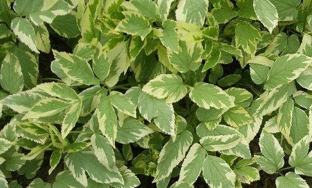 Tarka levelű podagrafű - Aegopodium podagraria Variegatum  Fehéren-zölden tarka levelei kétszer-háromszor hármasan összetettek, levélkék ferde tojás alakúak. Dús levélszőnyeget képez, mely szinte az egész tenyészidőszakban díszít