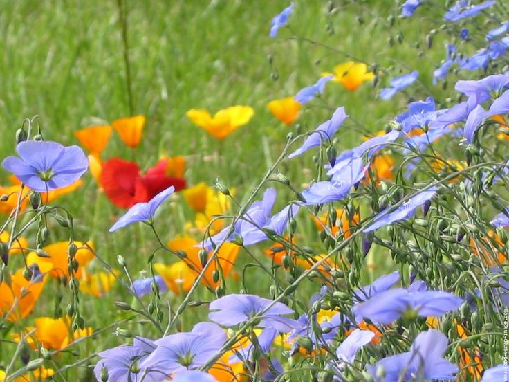 Fleur lin img 2718