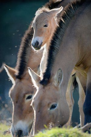 A gorgeous Przewalski foal, Highland Wildlife Park in Kingussie, Scotland. The foal is the first new-born Przewalski's horse at the park in five years. The horses were once extinct in the wild until a small captive-bred population were reintroduced in Mongolia in the 1990s and are now listed as endangered.