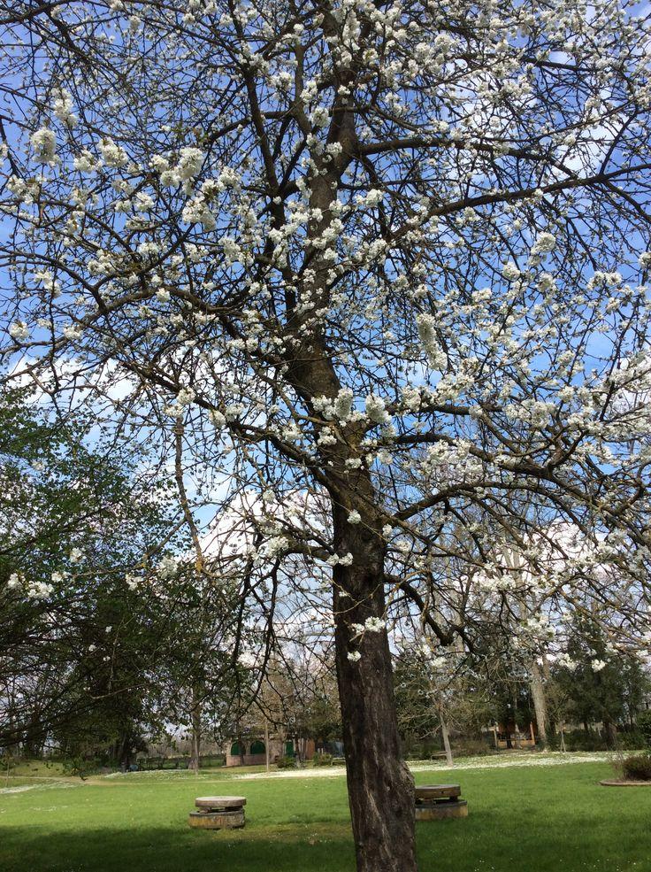 alberi in fiore