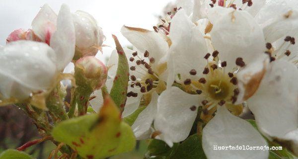 Flores del peral de donguindo