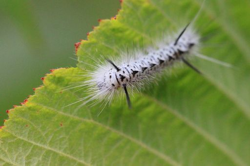 Late summer caterpillar becomes the stunning Hickory Tussock Moth