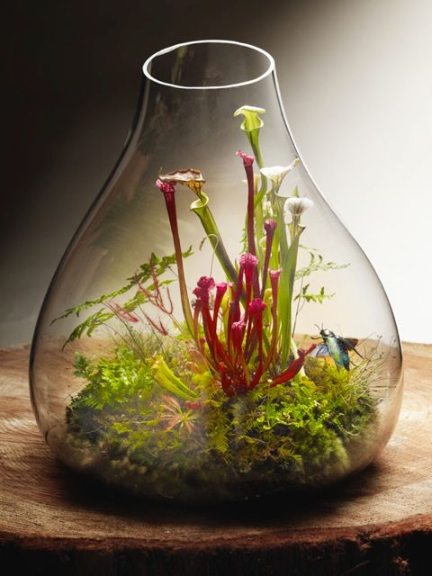 Carnivorous plant terrarium, with upright growing sarracenias, sundews, and mosses. Vessel by roost.