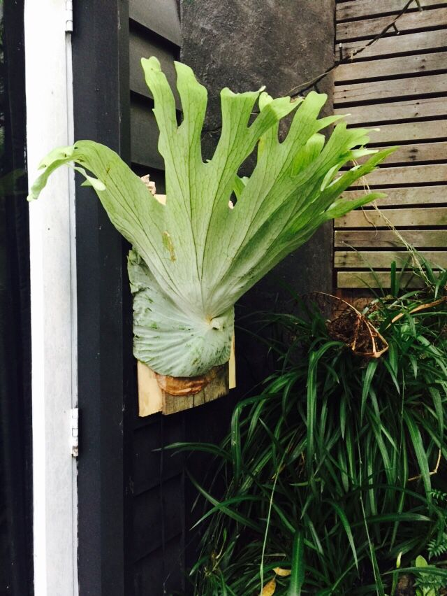 Staghorn fern plants with out true roots which relies on external support home plants - Nature curiosity stressed out plants emit animal like signals ...