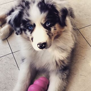 This leads to a wide variety of gorgeous eye color, as well. | 19 Reasons Australian Shepherds Are The Best-Looking Dogs In The World