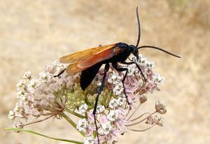 Schmidt Pain Index of Insect Stings: Tarantula Hawk
