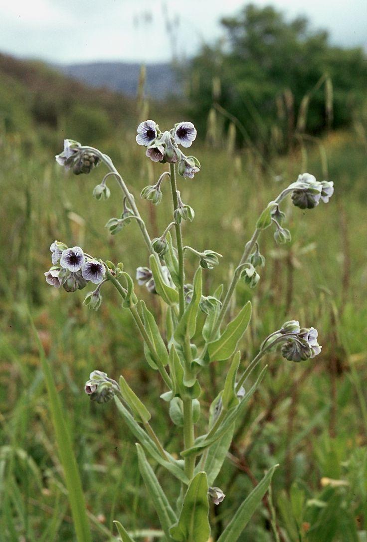 Cynoglossum creticum-Daday