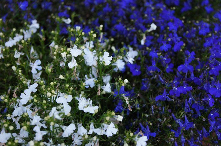 Lobelia przylądkowa (Lobelia erinus) biała i niebieska