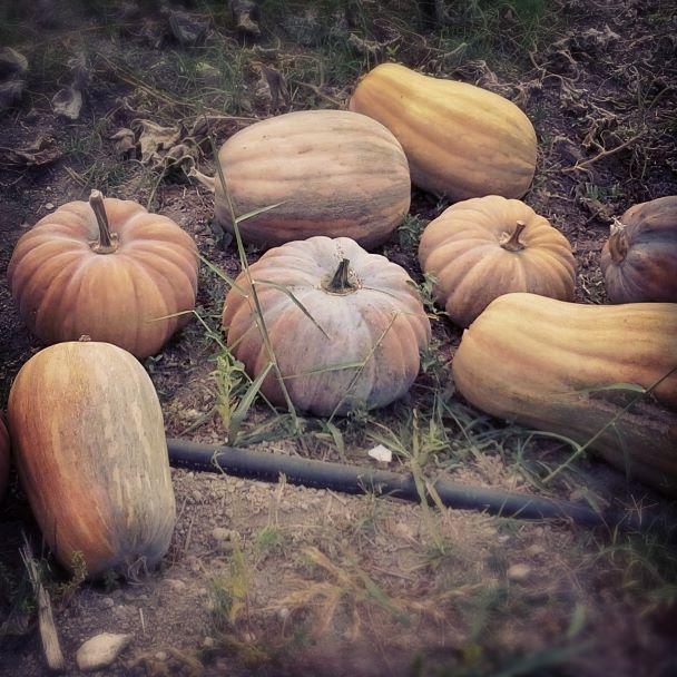 Zucche, pumpkin, fall, autumn, kmzero, bio, food
