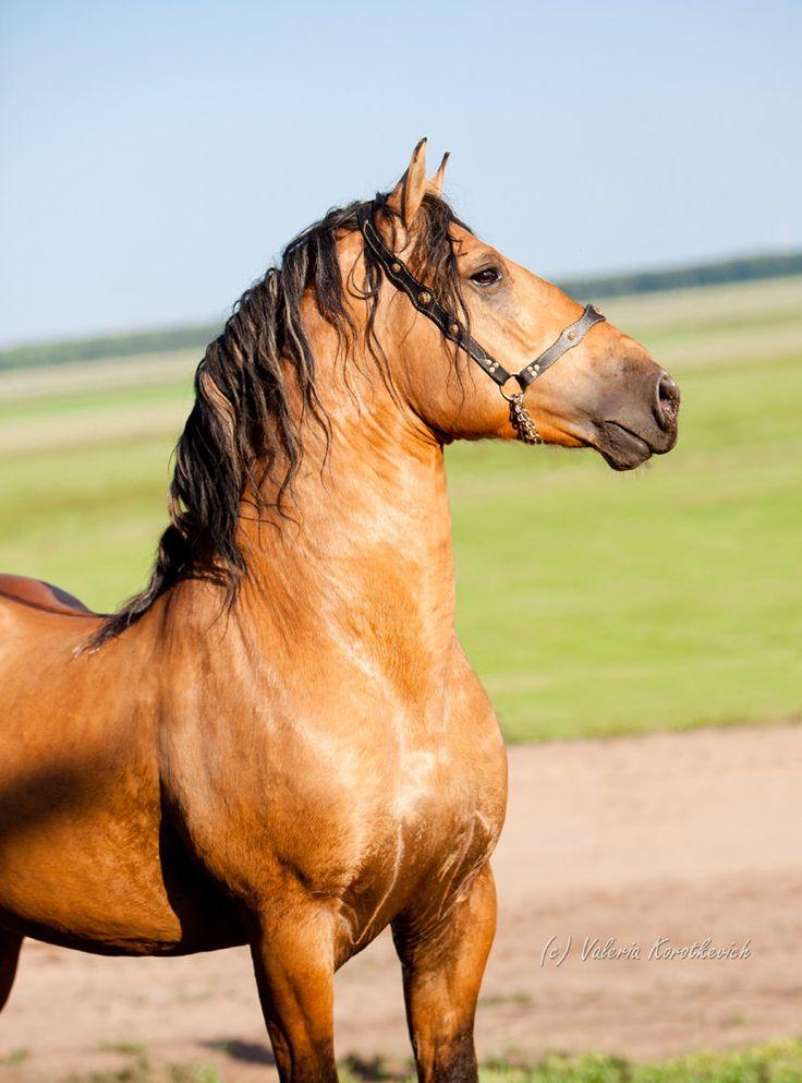 Byelorussian Harness Horse stallion Baget