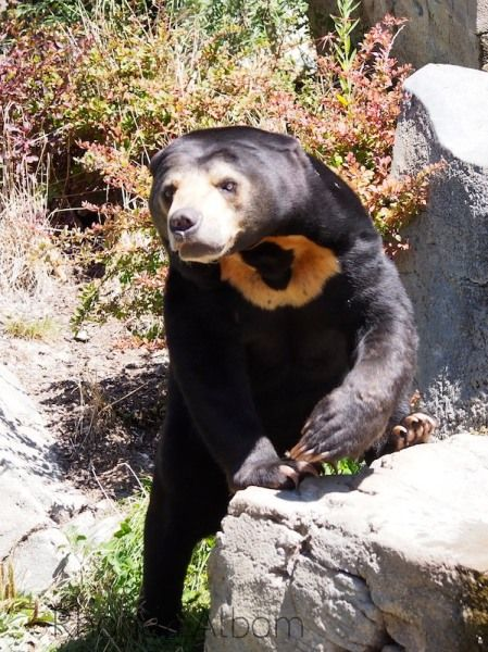 Malayan Sun Bear at the Wellington Zoo, New Zealand