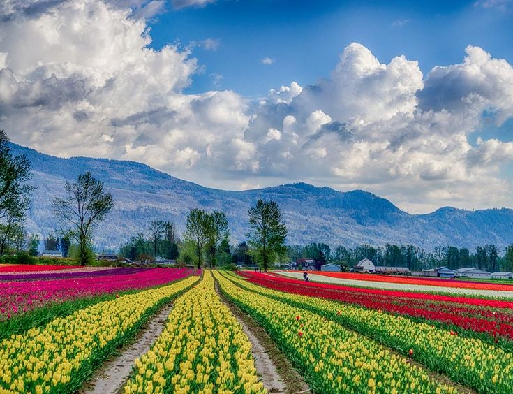 Gallery - Tulips of the Valley #tulipfestival #chilliwacktulipfestival #tulips #sharechilliwack #explorebc #gardentourism