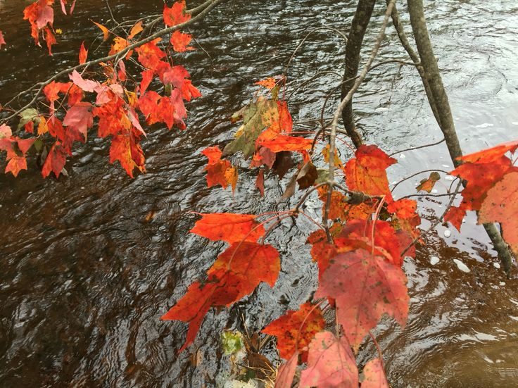 Red leaves on top of the river  ; autumn