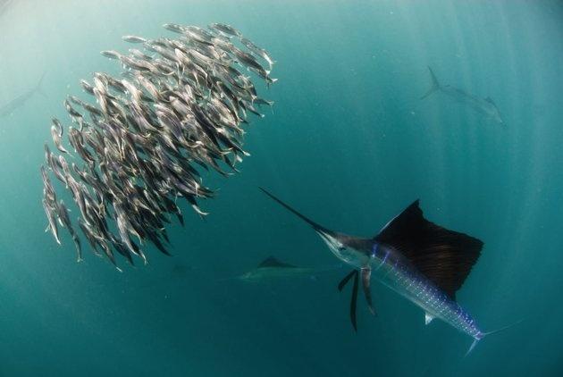 Fächerfisch  Tobago, Trinidad und Tobago