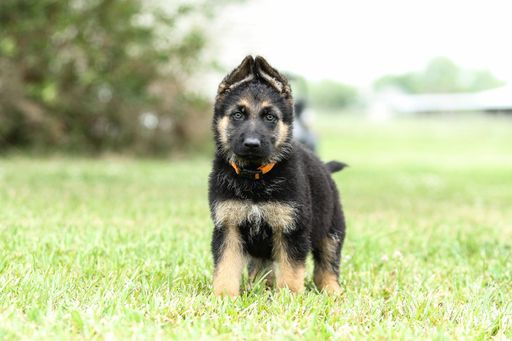 German Shepherd Dog puppy for sale in DUSON, LA. ADN-29041 on PuppyFinder.com Gender: Male. Age: 7 Weeks Old