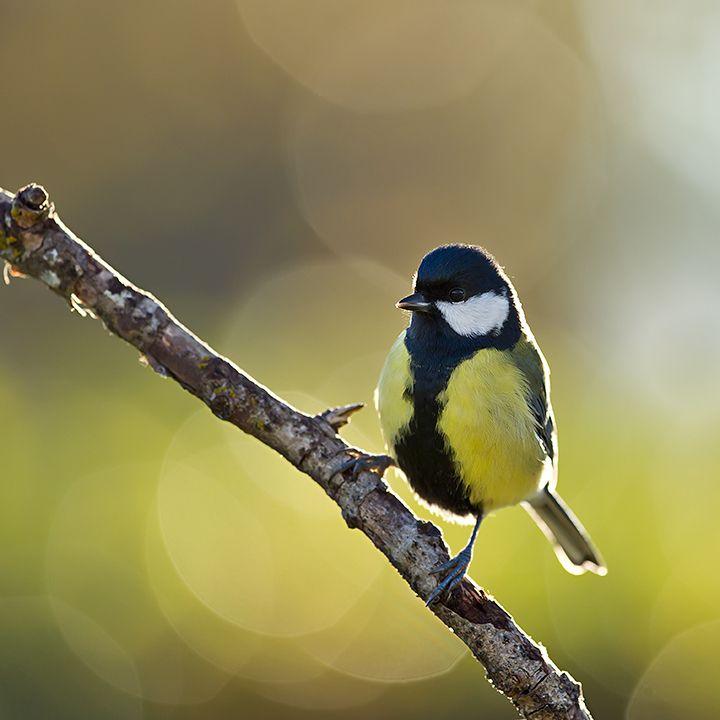 Fåglar | Lars Altberg Naturfotograf