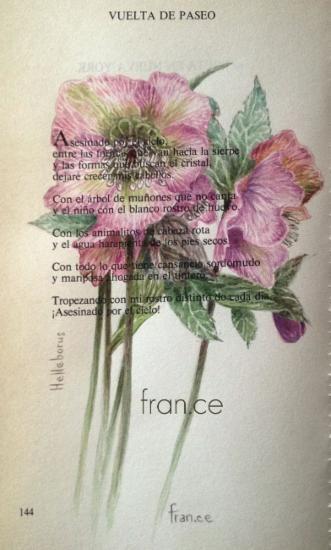 Home - franca cecchinato, watercolours, botanical art, hellebore, elleboro, helleborus, acquerelli botanici