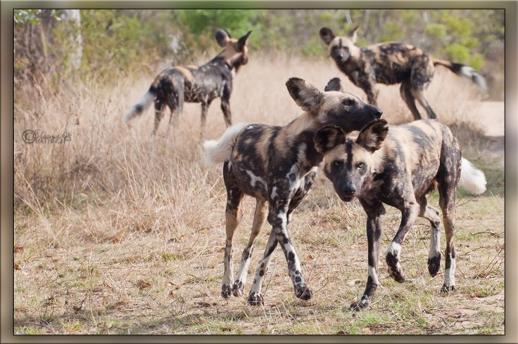 Painted Dogs, also known as African Wild Dogs, are unique to Africa and they are among this continent's most endangered species. It is estimated that a mere 3,000 - 5,000 remain. © Jan-Nor Photography