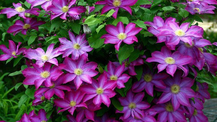 Téma - Plamienok (Clematis) - popínavé rastliny • www.stavba-az.sk