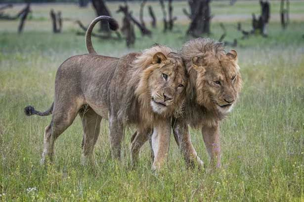 Frizzy manes: Lion Update from Ngamo