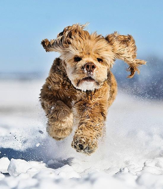 snow dog  #whistler  #whistler dogs  #snow animals #robpalmwhistler
