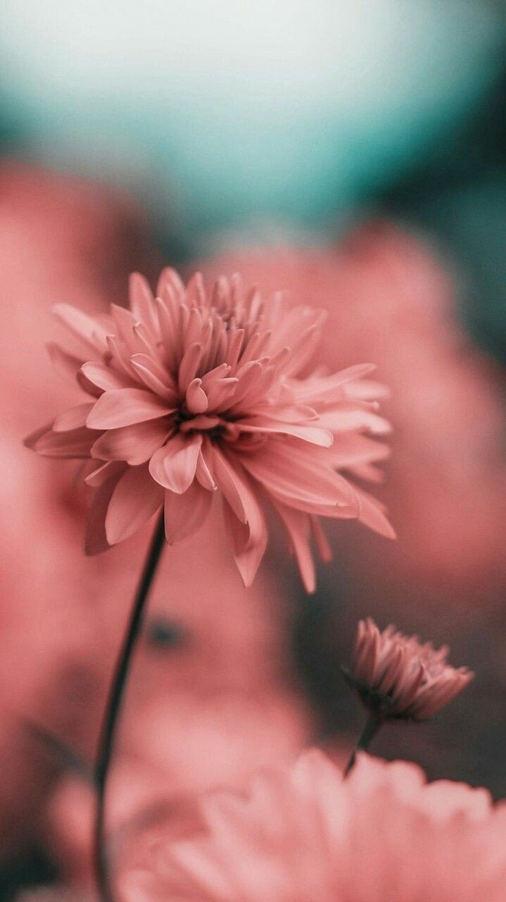 Wallpaper Background In Pink Blue And Lot Of Light Delicate Pink Flower Flower Wallpaper Nature Wallpaper Phone Wallpaper