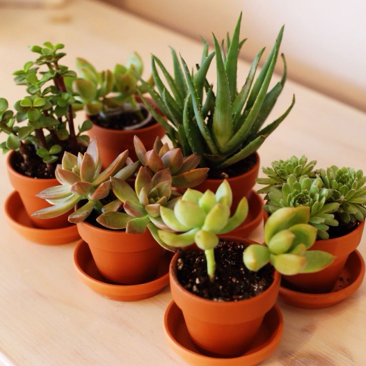 Succulents, the kind of plants I want in my dorm
