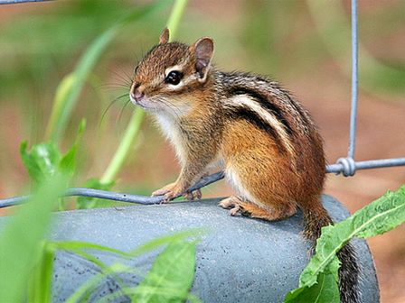 how to get rid of chipmunks in garden