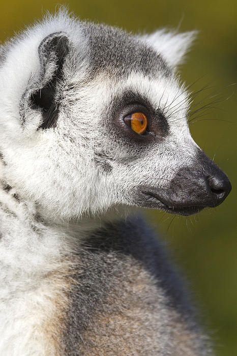 Ringed Lemur by Chris Smith