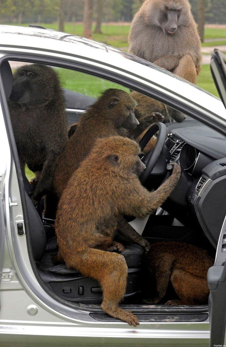 картинка обезьяны в машине относится группе шрабов