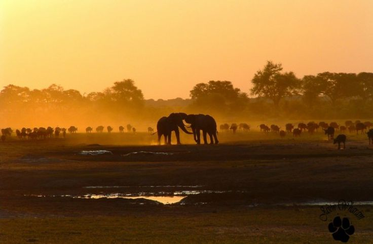 The Chobe National Park is the elephant Eden of Botswana, & is accessible from Zimbabwe & Zambia. See wild animals up close in their natural environment during a private 4x4 safari drive before a leisurely lunch. Take a scenic sunset cruise down the Chobe River, & watch as the animals move freely to & from the water. Book online or contact us: